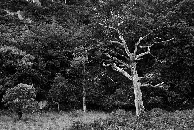 The White Tree of Kerry