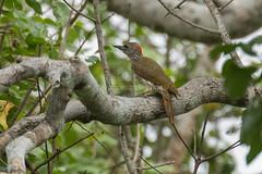 Mombasa Woodpecker -  Coastal Kenya CD5A4824