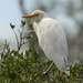 Cattle Egret