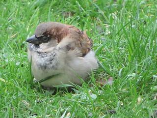 Jeune moineau dans mon jardin. Young sparrow in my garden.