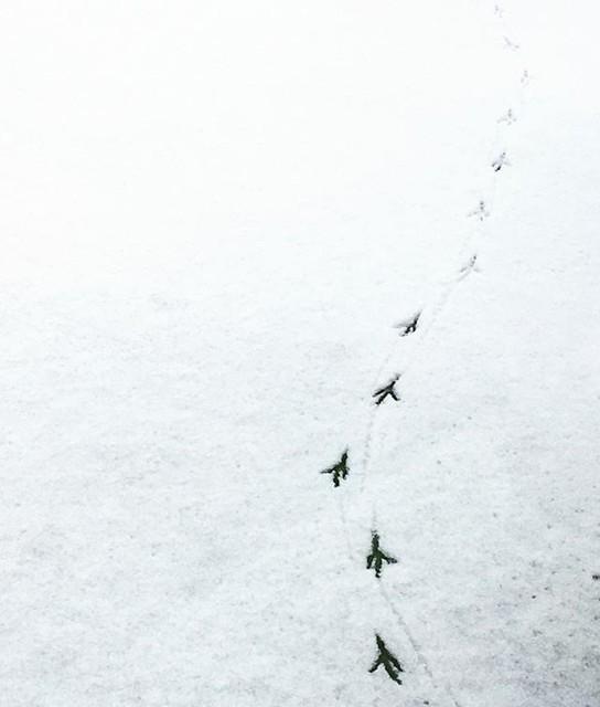 Pasos de invierno / Winter footsteps #nijmegen #snow #bird #footsteps #pasos #White #simple #minimalist #animals #pisadas #nature #winter #footprint #random