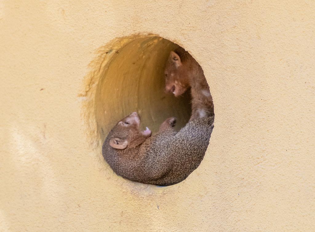 Dwarf Mongoose_8