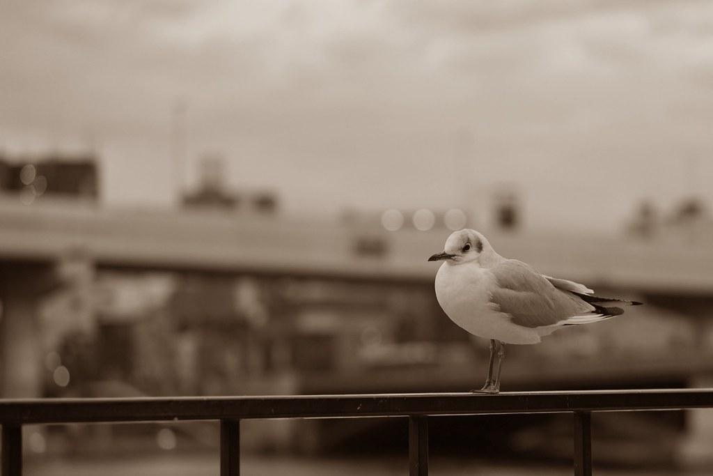 sea gull_2
