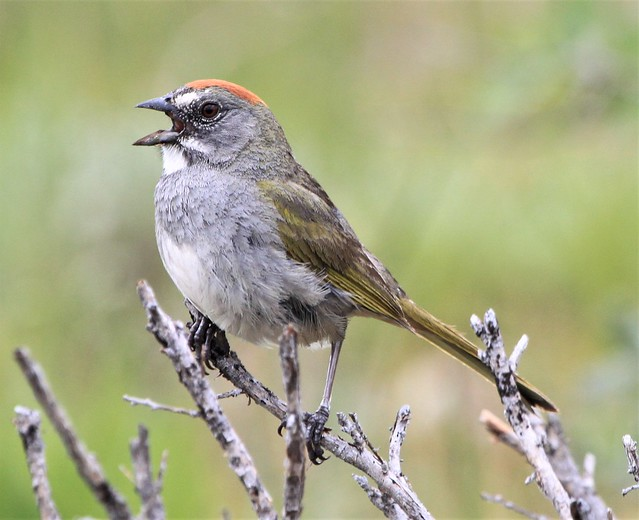 Green-tailed Towhee Pipilo chlorurus, Canon EOS REBEL T1I, Canon EF 100-400mm f/4.5-5.6L IS