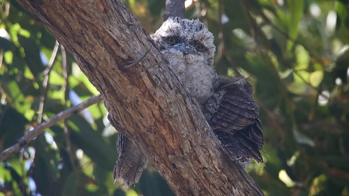 The youngest Tawny