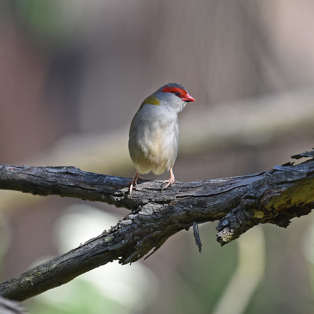 Red-browed Finch, Pakenham Aqueduct, Nikon D7200, AF-S Zoom-Nikkor 28-70mm f/2.8D IF-ED