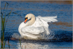 Mute Swan - all shook up!!