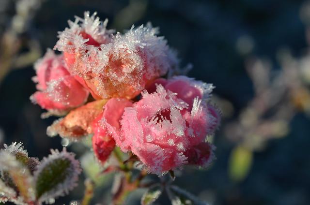 Sugar plum fairy roses, Nikon D5100, AF-S DX Micro Nikkor 40mm f/2.8G
