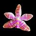 Phalaenopsis luedemanniana