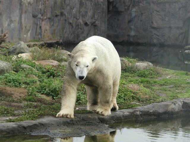 Eisbär Bill