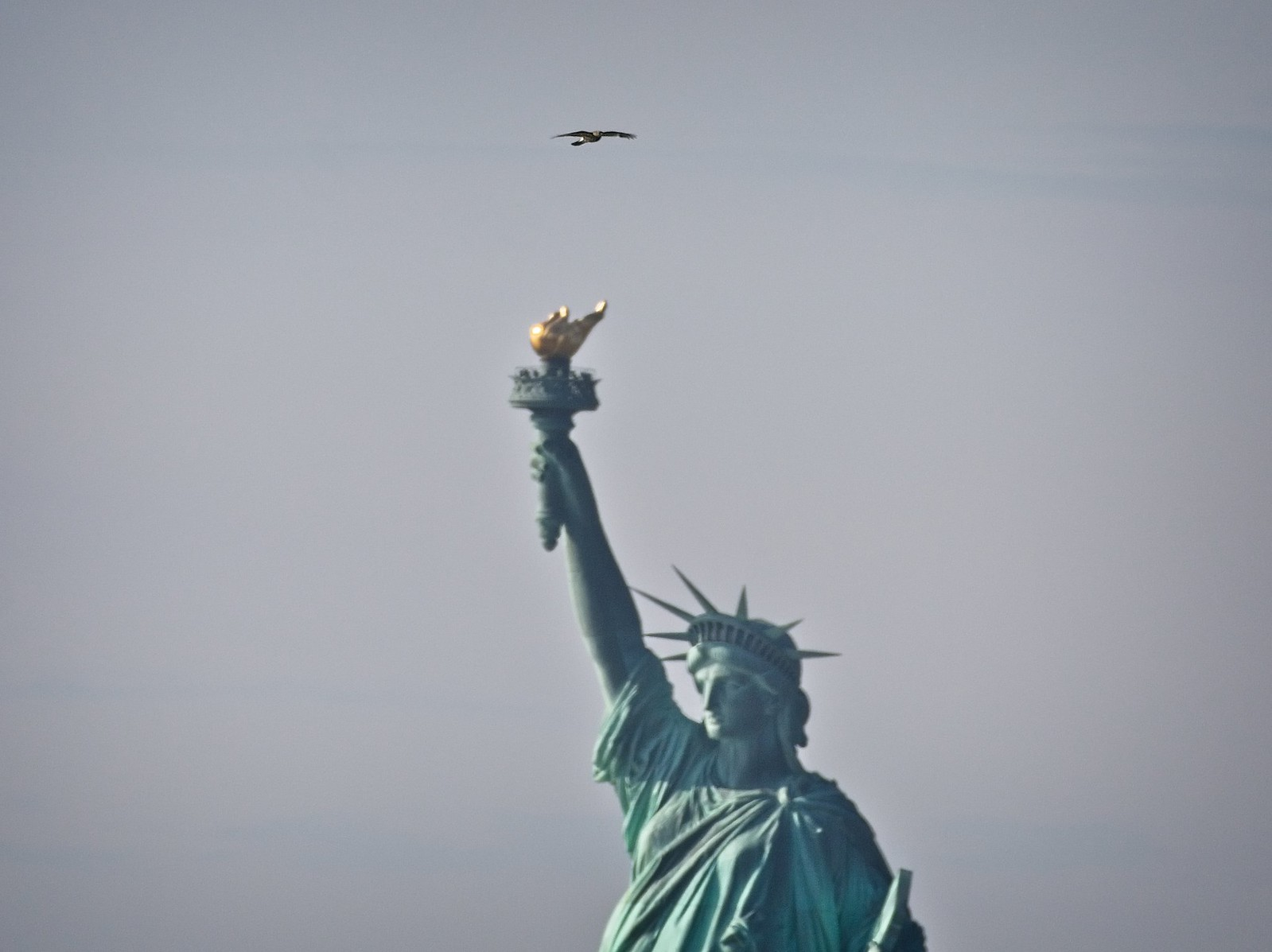 Cooper's hawk over the Statue of Liberty