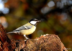 Strike the pose. Parus major. Great tit.