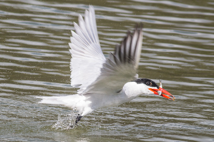 Caspian Tern  - adult breeding