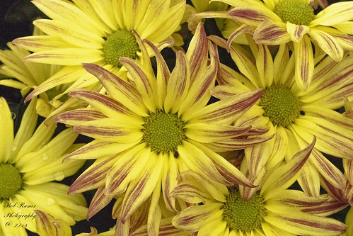 Flower Single Mums. (Explored}