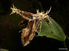Hawk Moth, Xylophanes ceratomioides, Sphingidae with Entomopathogenic fungus