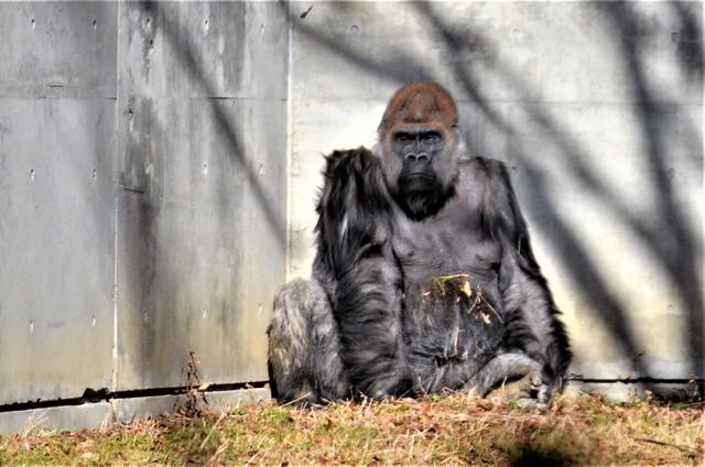 八木山動物公園のニシゴリラ「ドン」(雄)