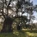 Pelasgia Greece Olive Trees and Oil Production by isoldenowak