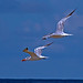 2018.09.08 Anastasia State Park Terns 2