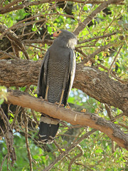 gymnogene4; s luangwa national park