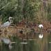 Flickr photo 'Great Blue Heron (Ardea herodias) and Wood Stork' by: Mary Keim.
