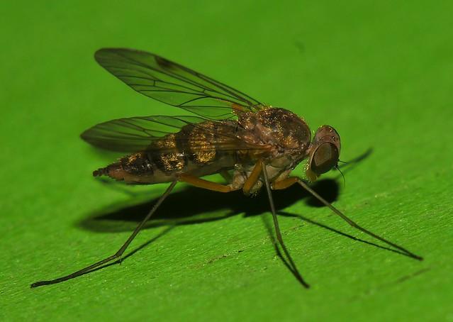 Whitsundays Fine fur Hairy lip fly Fly Day Friday 7mm long Dolichopodidae Diptera P1450795