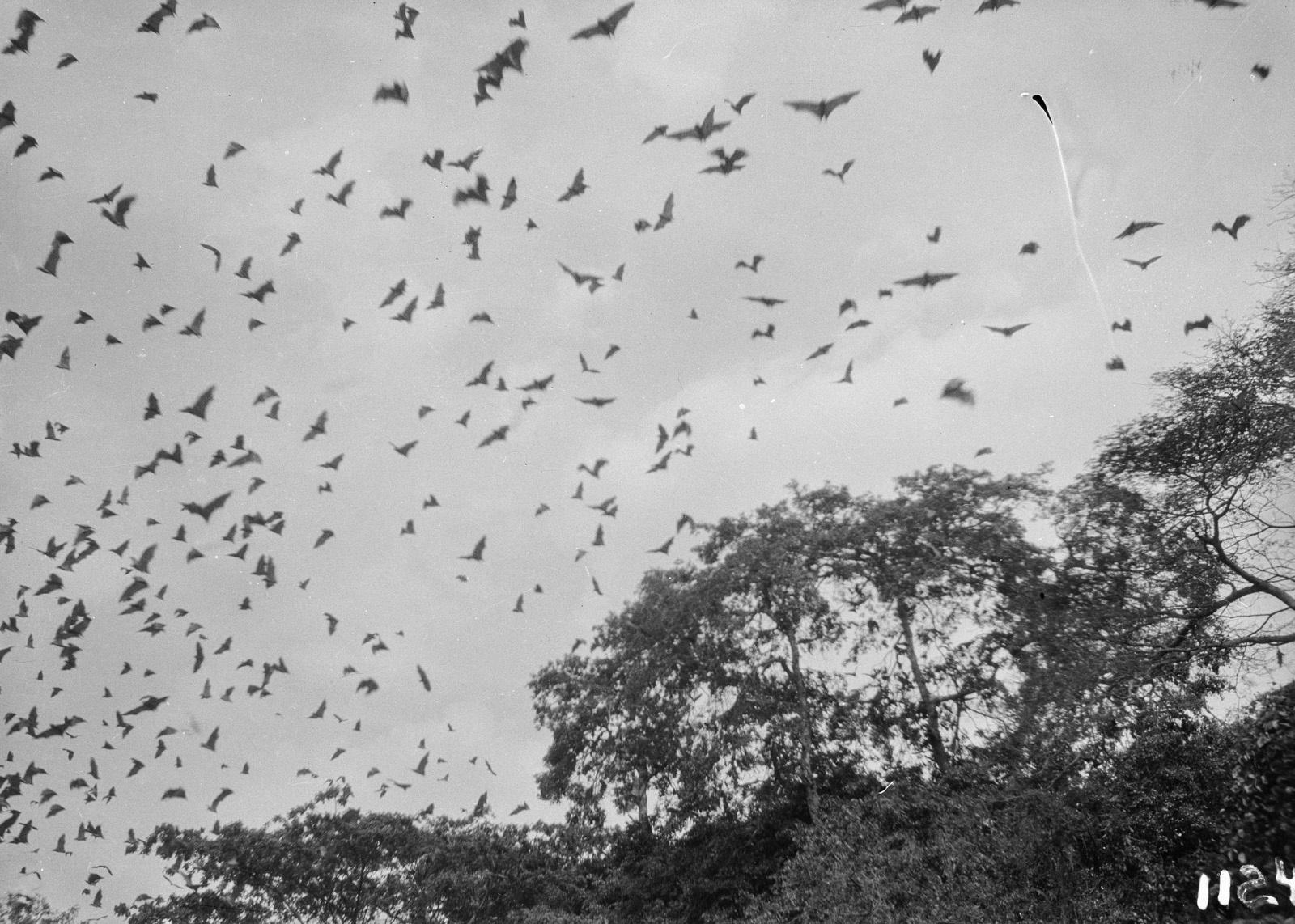 1124. Лундази. верхушка дерева с летающими фруктовыми летучими мышами