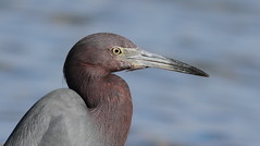 Little Blue Heron- Hudson Beach
