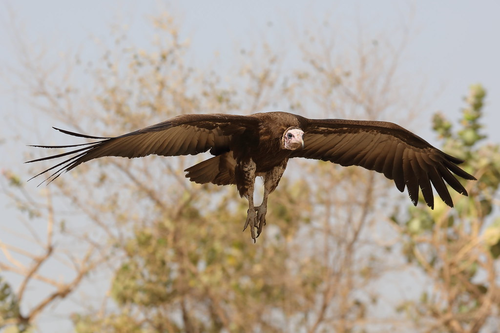 Hooded Vulture Necrosyrtes monachus