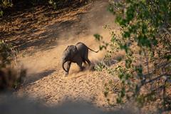 Young elephant, Mana Pools National Park, Zimbabwe