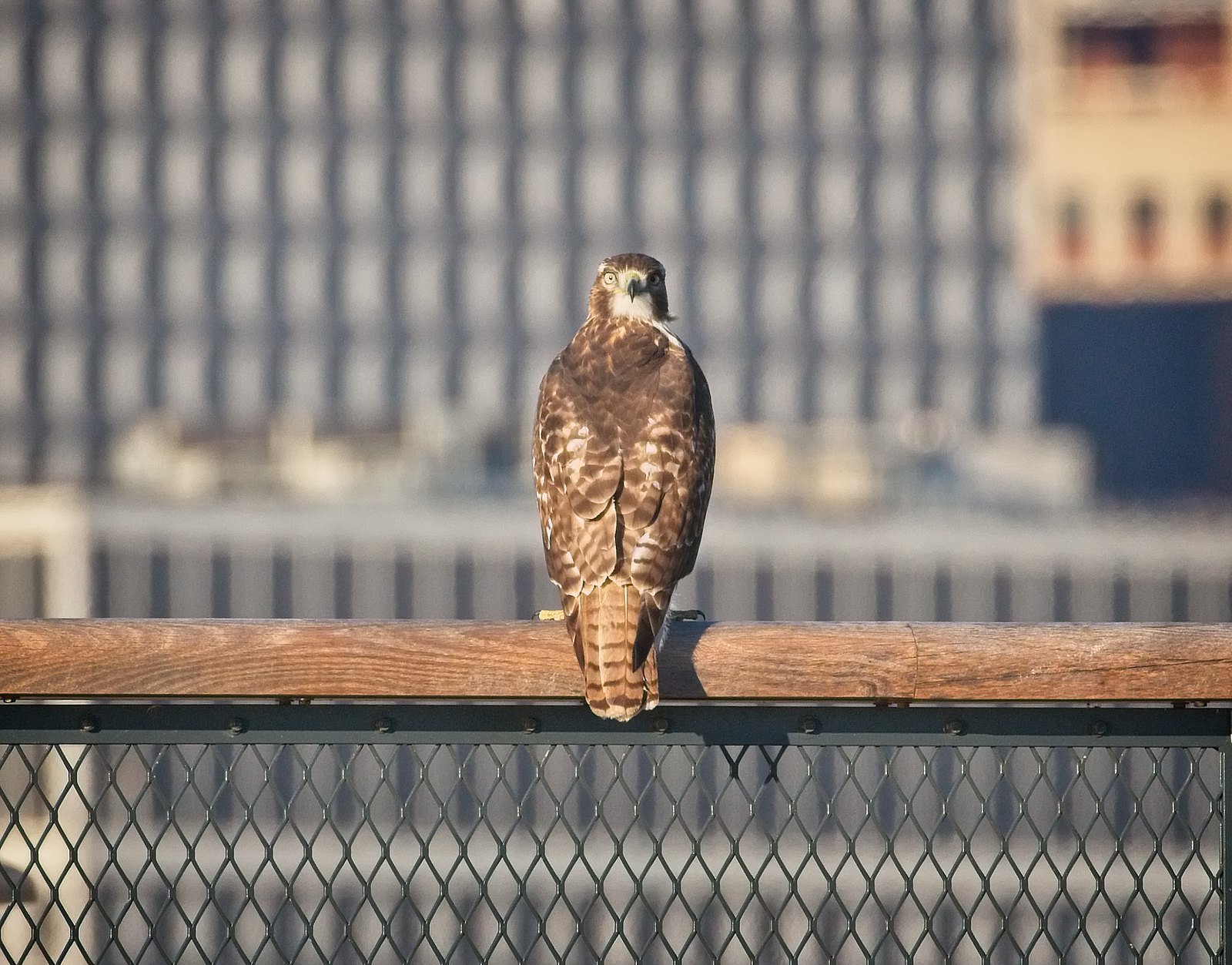 Red-tail on Outlook Hill at Governors Island