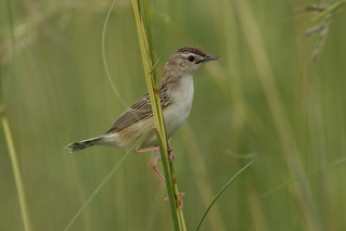 Wing-snapping cisticola (Cisticola ayresii), also known as Ayres' cisticola, at Khama Rhino Sancturary in Botswana.