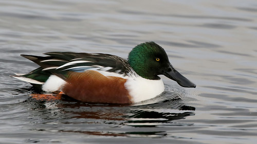 Northern shoveler {explored}