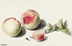 Peaches anda plum by Elisabeth Geertruida van de Kasteele, after Michiel van Huysum (1700-1800). Original from The Rijksmuseum. Digitally enhanced by rawpixel.