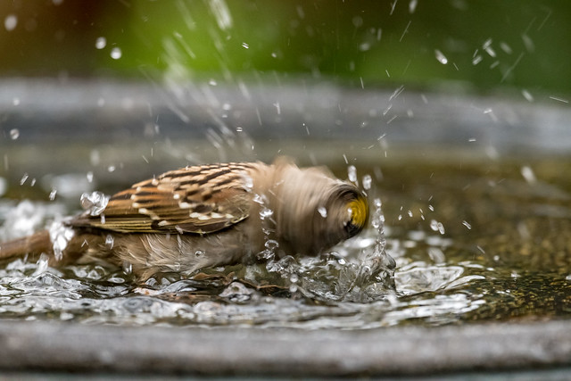 Golden-crowned Sparrow spin cycle, Nikon D500, AF-S VR Nikkor 500mm f/4G ED