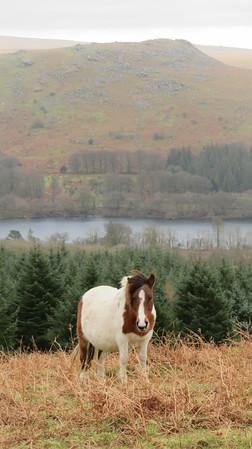 Pony near Lowery Tor