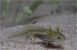 Ringed Salamander (Ambystoma annulatum)