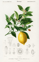Lemon (Citrus Limonium) illustrated by Charles Dessalines D' Orbigny (1806-1876). Digitally enhanced from our own 1892 edition of Dictionnaire Universel D'histoire Naturelle.