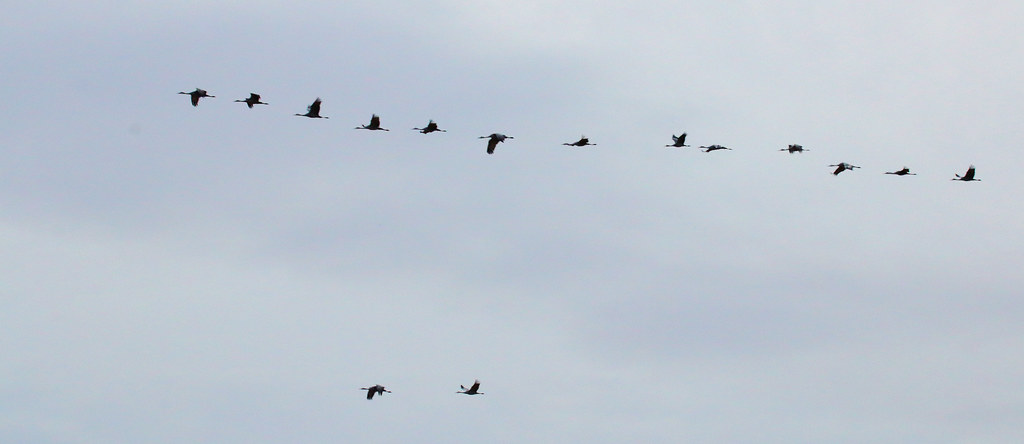 It Was Twilight And Sandhill Cranes >> Twilight Parade Sandhill Cranes Grus Canadensis Ladd Flickr