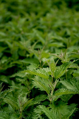 Stinging Nettles close up