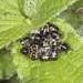 Hairy Shieldbug Hatchlings
