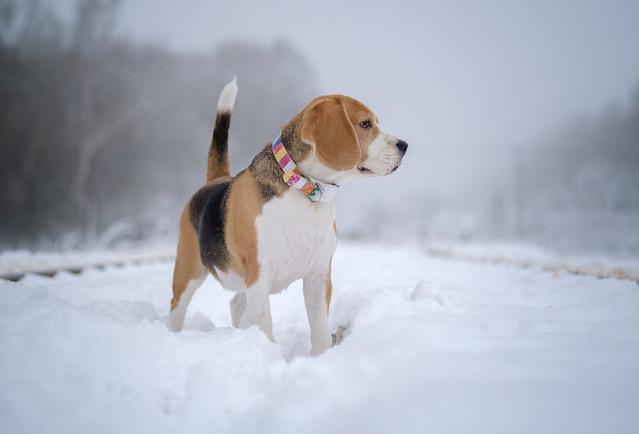 dog Beagle, Fujifilm X-T3, XF60mmF2.4 R Macro
