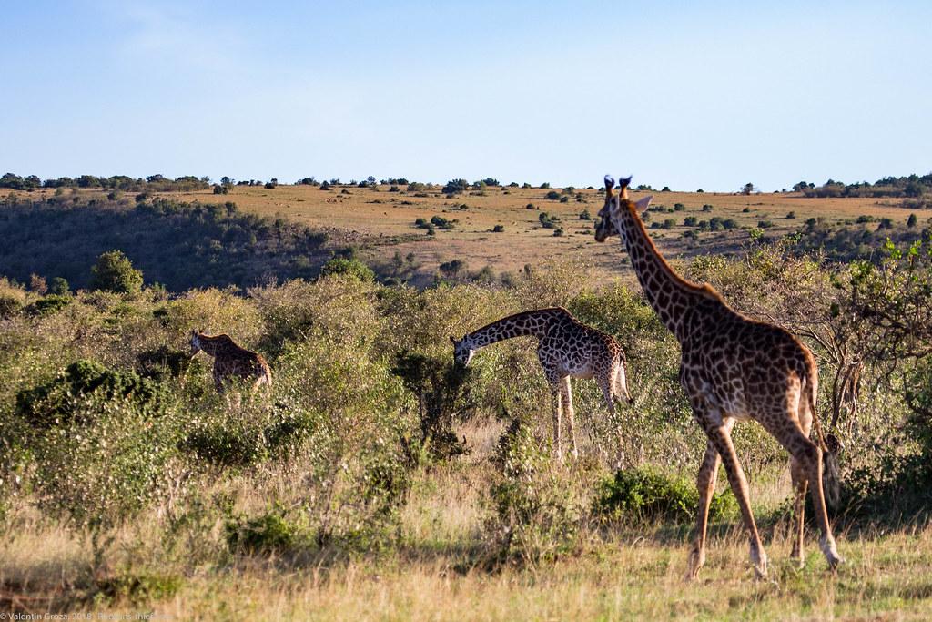 Girafe_septembrie 06_Maasai Mara_gradina