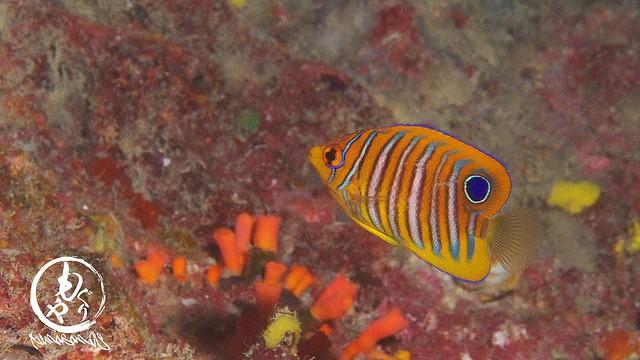 きれいで紹介したいんだけど、動き回ってなかなかできないニシキヤッコ幼魚ちゃん