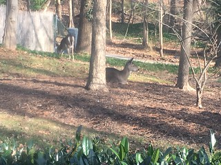deer visitors - love the one sitting down and chewing!