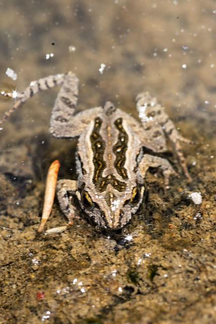 Brown frog, Nikon D3400, AF Micro-Nikkor 105mm f/2.8