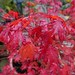 Autumnal Scenes -Acer Leaves