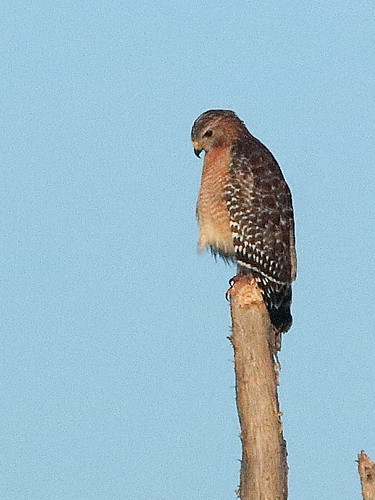 Red-shouldered Hawk adult 01-20181203