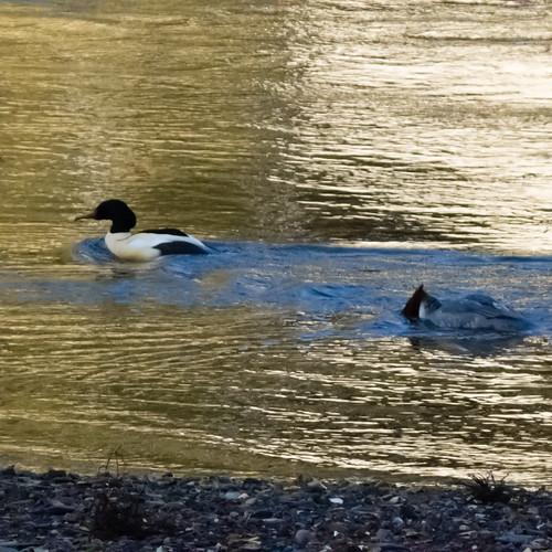 Goosander pair fishing together near Bylet