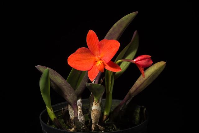 Photo:[Brazil] Cattleya coccinea Rounded petal type '#1802-W1' Lindl., Edwards's Bot. Reg. 22: t. 1919 (1836) By sunoochi