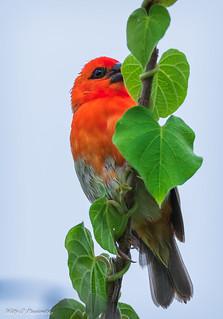 Oiseau Cardinal - Foudi rouge